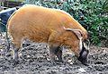 Pinselohrschwein Koelner Zoo 02.JPG