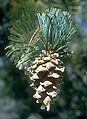 Pinus flexilis cones USDA2.jpg