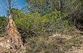 Pinus halepensis (uprooted), Murviel-lès-Béziers 02.jpg
