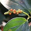 Piper kadsura (fruits s7).jpg