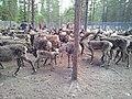 Pirttijärvi sameby renskiljning.jpg