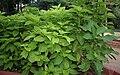 Pisonia alba (Lettuce tree) in Hyderabad, AP W IMG 0470.jpg