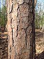 Pitch pine 3.jpg