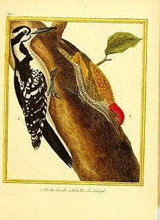 Little green woodpecker Species of bird