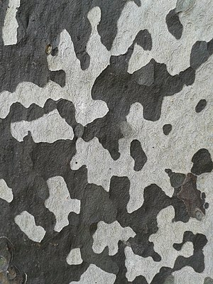 Platanus - Patterned bark of London plane
