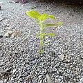 Plant in uitm shah alam.jpg