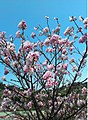 Plum flowers at the TNUA of Taiwan.jpg