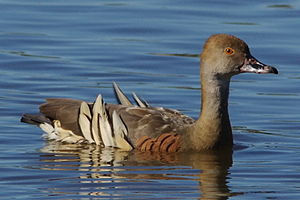 Plumed whistling duck - Swimming