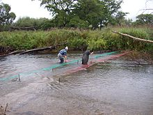 Poaching of a salmon at the Far East river.JPG