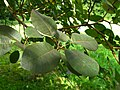 Podlaskie - Suprasl - Kopna Gora - Arboretum - Cotinus coggygria - leaf.JPG