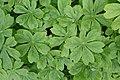 Podophyllum peltatum kz01.jpg