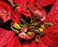 Poinsetta Flowers.jpg