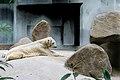 Polarbearincaptivity.jpg
