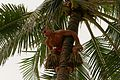 Polynesian Cultural Center - Samoa Tree Climber (14060035365).jpg