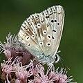 Polyommatus coridon male Lehrensteinsfeld 20080802 3.jpg