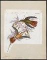 Polytmus cinnamomeus - 1820-1860 - Print - Iconographia Zoologica - Special Collections University of Amsterdam - UBA01 IZ19100183.tif