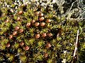 Polytrichum piliferum 38446.JPG