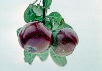 Pomme Noire on tree, National Fruit Collection (acc. 1973-118).jpg