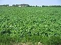 Pommes terre juillet2006.jpg