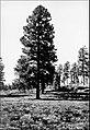 Ponderosa Pine - 1940 - Kaibab NF.jpg