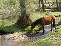 Pony in a stream, Moor Corner, New Forest - geograph.org.uk - 430730.jpg