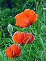 Poppies (7446359836).jpg