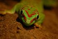 Portrait of a Green day gecko (6163398433).jpg