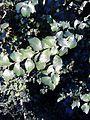 Possible Ulmus 'Myrtifolia'. Edinburgh (3).jpg
