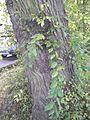 Possible Ulmus 'Scampstoniensis' - Bark. Buckingham Terrace, Edinburgh.jpg
