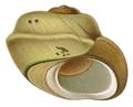 Potamolithus rushii shell.png