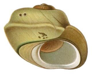Tateidae Family of gastropods
