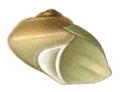 Potamolithus rushii shell 4.png
