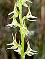 Prasophyllum sylvestre - cropped.jpg