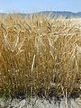 Preharvest two-rowed barley close up in saga.jpg