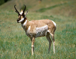 Crescent Lake National Wildlife Refuge - The Pronghorn is often mistakenly referred to as the antelope