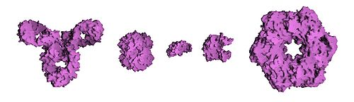 Molecular surface of several proteins showing their comparative sizes. From left to right are: Antibody (IgG), Hemoglobin, Insulin (a hormone), Adenylate kinase (an enzyme), and Glutamine synthetase (an enzyme).
