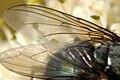 Protocalliphora.azurea9.-.lindsey.jpg