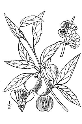 alt=Description de l'image Prunus angustifolia.jpg.