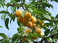 Prunus domestica.JPG