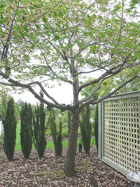 File:Prunus serrulata3.jpg