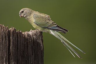 Red-rumped parrot - Female in New South Wales, Australia