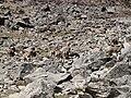 Pseudois nayaur (Tibet - Trek 2 - 04).jpg
