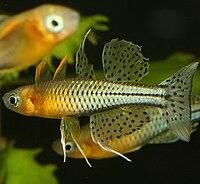 Pseudomugil gertrudae ARUII Maennchen DYK.jpg
