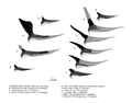 Pteranodonts bennett.png