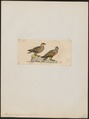 Pterocles variegatus - 1820-1860 - Print - Iconographia Zoologica - Special Collections University of Amsterdam - UBA01 IZ16900025.tif