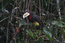Pteroglossus azara -Cuyabeno Wildlife Reserve, Ecuador-8