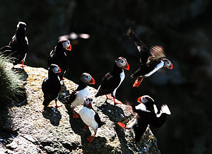 Røst - Atlantic puffins; Røst has the largest seabird colonies in Norway.