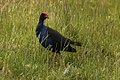 Purple Swamphen - New Zealand (39171788242).jpg
