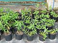 Pycnanthemum muticum (^) left, ^ Ruellia humilis - Flickr - peganum.jpg