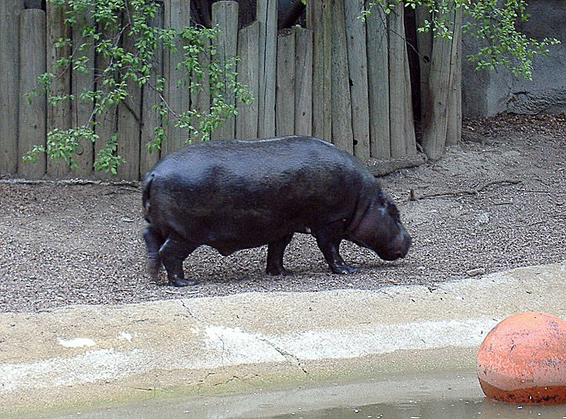 Pygmy hippopotamus at Brookfield Zoo